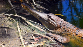 Freshwater crocodile face in a river bank Royalty Free Stock Photos
