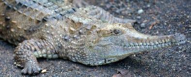 Freshwater crocodile face Royalty Free Stock Photography