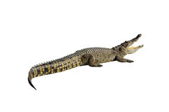 Freshwater crocodile isolated on white with clipping path. Royalty Free Stock Images