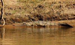 Freshwater Crocodile. The freshwater crocodile, Johnson's Crocodile(Crocodylus johnstoni) in Geike Gorge WA on the Fitzroy river Royalty Free Stock Photo