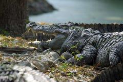 Freshwater Crocodile. Kolkata zoo, India Royalty Free Stock Images