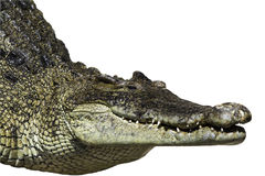 Freshwater crocodile. Royalty Free Stock Images
