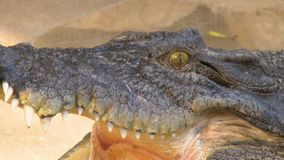 Freshwater Crocodile`s Head And Open Mouth. Steady, close up shot of a freshwater crocodile`s head and open mouth stock video footage