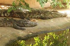 Freshwater crocodile. Species Thailand. scientific name : Crocodylus siamensis Stock Photos