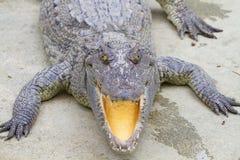 Freshwater crocodiles Stock Images
