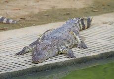 Freshwater crocodiles Stock Photos