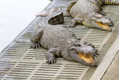 Freshwater crocodiles Royalty Free Stock Photo