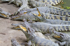 Freshwater crocodiles Royalty Free Stock Image