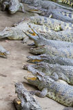 Freshwater crocodiles Stock Images