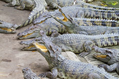 Freshwater crocodiles Stock Photo