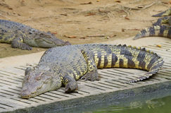 Freshwater crocodiles Royalty Free Stock Images