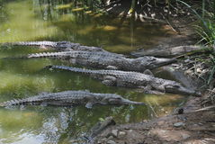 Freshwater crocodiles Royalty Free Stock Photos
