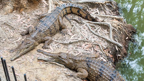 Freshwater crocodiles, QLD, Australia. WANGETTI, QLD/AUSTRALIA - OCT 24, 2015: Two freshwater crocodiles on land, at Hartleys's Crocodile Adventures, Queensland Royalty Free Stock Images
