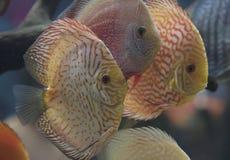 A freshwater discus fish. Discus fish, Orange Symphysodon Discus in aquarium stock photos
