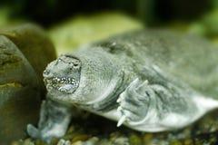 Freshwater exotic Chinese softshell turtle Stock Images