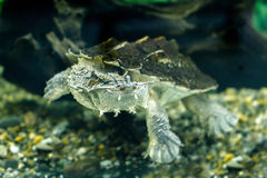 Freshwater exotic turtles Matamata Royalty Free Stock Photography
