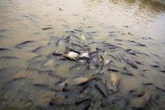 Free Freshwater Fish Royalty Free Stock Photo - 16454185