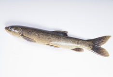 Freshwater fish. On a white background Royalty Free Stock Photography
