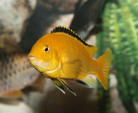 Freshwater Fish. Royalty Free Stock Photo