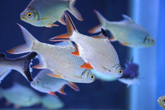 Freshwater fish in the aquarium Royalty Free Stock Images