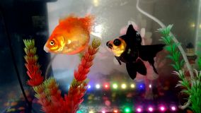 Freshwater fish in aquarium. Two goldfish look in amazement at the camera stock video