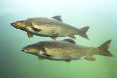 Freshwater fish Barbel Barbus barbus Underwater. Barbel Barbus barbus Underwater close up photography of a nice fish. Freshwater fish in the clean river and stock image
