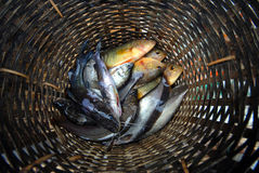 Freshwater fish in the basket. Royalty Free Stock Photos