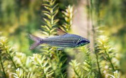 Freshwater fish belonging to the tetras family stock photos