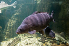 Freshwater fish of the carp in the environment. Cyprinus carpio Royalty Free Stock Images