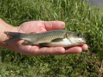 Freshwater fish carp on a hand. Carp fish on the palm men Stock Photo