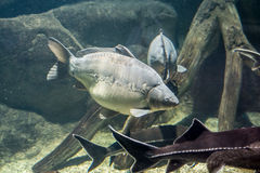 Freshwater fish of the carp and sterlet in the environment. Stock Photo