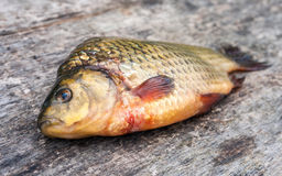 Freshwater fish carp on a wooden board Royalty Free Stock Photo