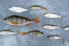Freshwater fish caught in a pond laid out in rows on the ice, one of the fish lined up in the other direction is the movement of f. Freshwater fish caught in a Royalty Free Stock Photography