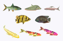 Freshwater fish collection. Collection of fresh water fishes on white background Royalty Free Stock Photography