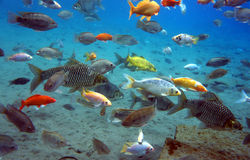 Freshwater fish. A collection of freshwater fish living in a spring in Klaten, Central Java, Indonesia Stock Image