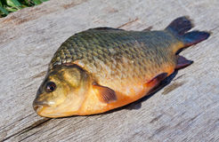 Freshwater fish crucian Stock Images