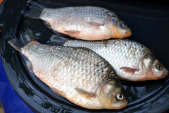 Freshwater fish from the Danube. Units of carp caught in the river royalty free stock images