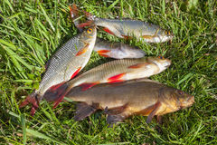 Freshwater fish Royalty Free Stock Images