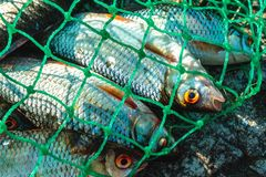 Freshwater fish in the green net. The catch of the fisherman Stock Images