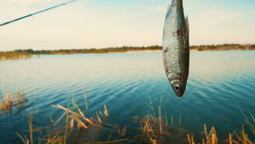 Freshwater fish hanging on a fishing hook caught during fishing. stock video footage