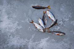 Freshwater fish on ice of small roach perch stock image