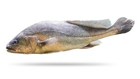 Freshwater fish isolated on white background. Soldier fish or Bpisoesemania microle. Clipping path royalty free stock image