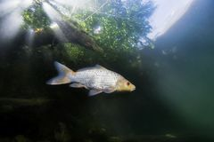 Freshwater fish koi carp Cyprinus carpio, Underwater stock photos