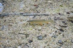 Freshwater fish in lake of  croatia Stock Image