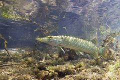 Freshwater fish Northern pike Esox lucius underwater. Freshwater fish Northern pike Esox lucius in the beautiful clean pound. Underwater shot with nice bacground Stock Photography