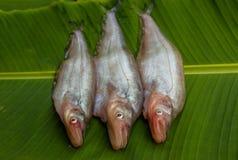 Freshwater fish Stock Image