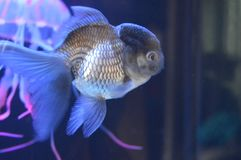 Freshwater Fish Oranda Black stock photography