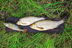 Freshwater fish - perch and ide. Are on the wet board in the grass Royalty Free Stock Photography