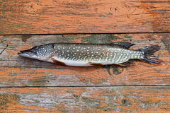 Freshwater fish pike. Lying on the wooden boards Royalty Free Stock Images