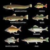 Freshwater fish species stock illustration